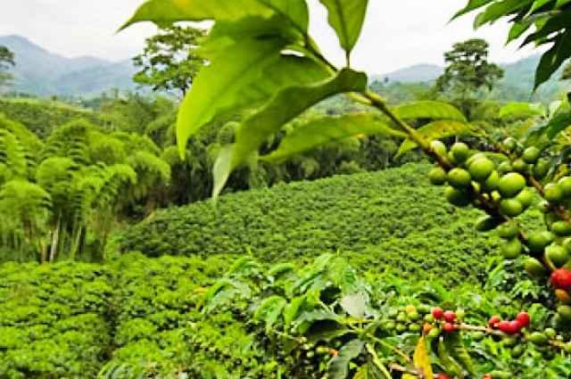 caffe-plantage-600x600