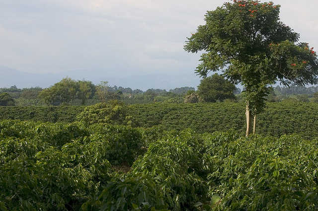 decaffeinated-colombia-coffee-plantation